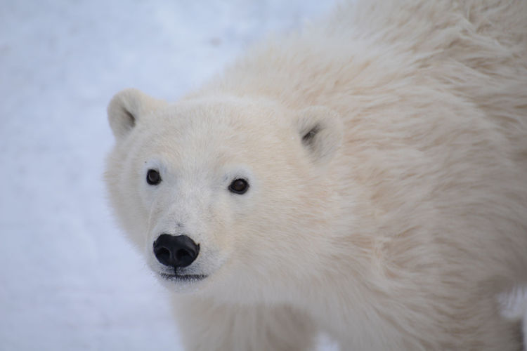 Close-Up Portrait Of Polar Bear On Snow