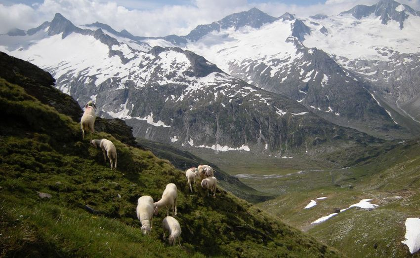 Sheep on landscape against mountains