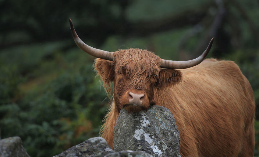 Close-Up Of A Highland Cattle Resting Head On Rock