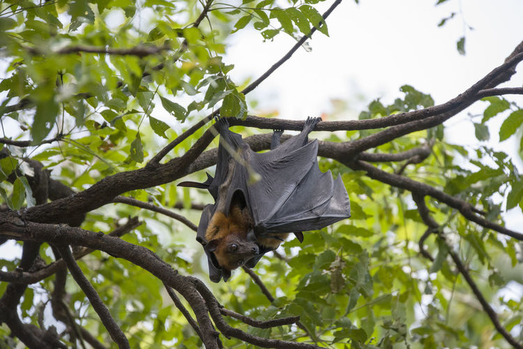 Foxbats in Thailand ASIA Bat Hanging Tree Thailand Animal Themes Animal Wildlife Animals In The Wild Bat - Animal Branch Day Focus On Foreground Forest Fox Fox Bat Foxbat Growth Hanging Leaf Low Angle View Mammal Nature No People One Animal Outdoors Tree