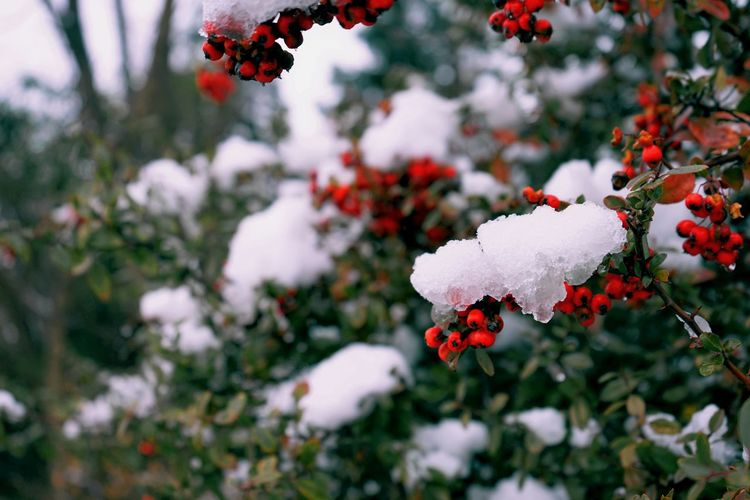 Close-up of frozen red berries on bush