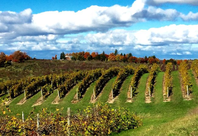Landscapes With WhiteWall Winery located on Old Mission peninsula in Grand Traverse County, Michigan. The winery is a European style chateau overlooking 64 acres. Vinyard Overlooking Acres Beautiful View Clouds Clouds And Sky Autumn🍁🍁🍁 Trees And Leaves My Favorite Place The Chateau has a tasting room and Jazz at sunset. Traverse City Michigan Pure Michigan United States