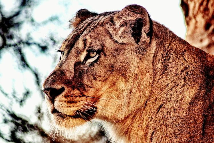 Close-Up Of Lion Against Sky