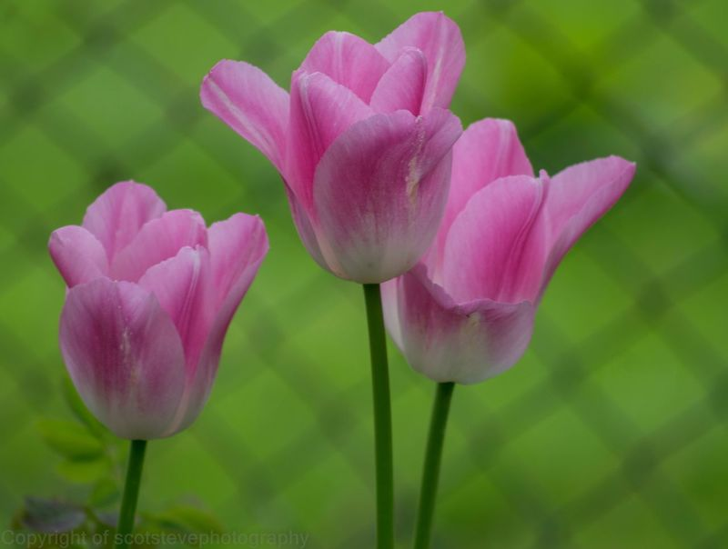 A stunning set of three flowers. Flower Nature Petal Plant Beauty In Nature Growth Fragility Pink Color Freshness Blooming Flower Head Purple No People Outdoors Close-up Day