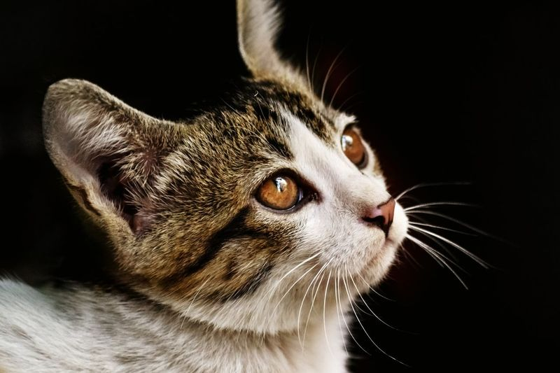Close-up of cat looking away against black background