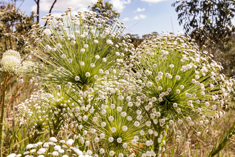 Cerrado Beauty In Nature Chapadaimperial Close-up Day Field Flower Flower Head Flowering Plant Focus On Foreground Fragility Freshness Growth Inflorescence Land Nature No People Petal Plant Pollen Tranquility Vulnerability  White Color