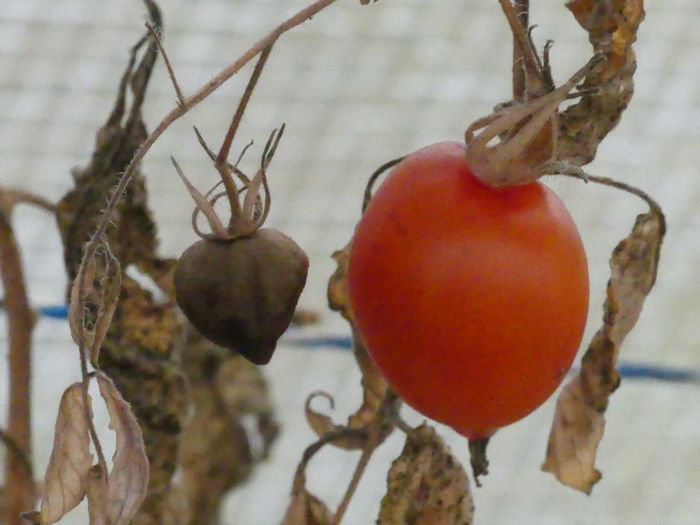 Nature Tomatos Red