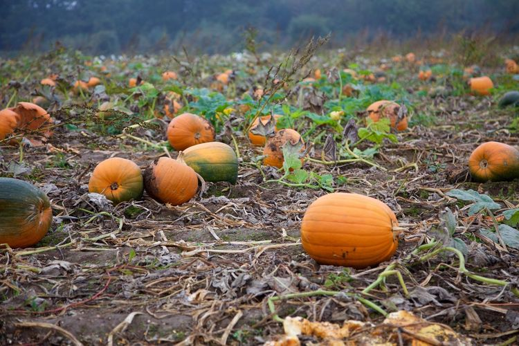 Pumpkin season Food Land Field Pumpkin Nature Vegetable Autumn Agriculture Healthy Eating Growth Orange Color Outdoors Focus On Foreground Harvesting Freshness Halloween