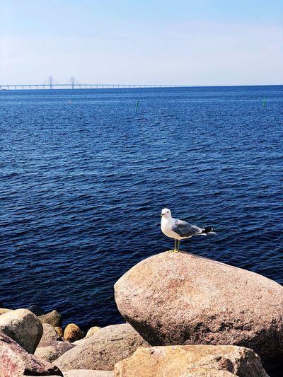 Seagull øresund