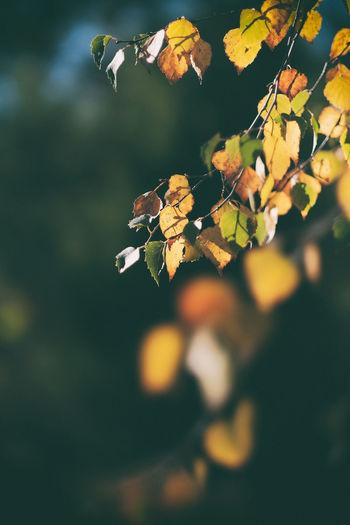 October 2017 - Sweden Autumn Autumn Leaves EyeEm Best Shots EyeEm Nature Lover EyeEm Gallery FUJIFILM X-T2 Inga Badjävlar Kungshamn Sweden Swedish Nature Taking Photos XF56 XF56mmAPD Birch Bjork Enjoying Life Eyeem Sweden Fujifilm Fujilove Höst Höstfärger Mirrorless Nature_collection Sotenäs Svensk Natur