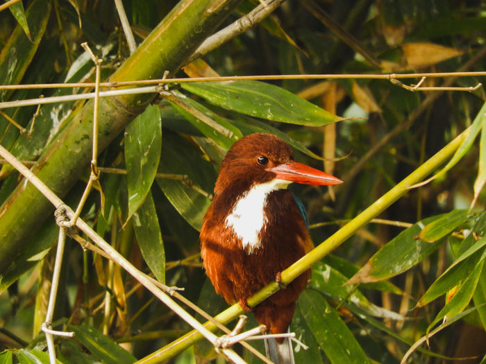 white throated kingfisher Halcyon Smyrnensis Halcyon White Throated Kingfisher Outdoors Vibrant Color Colourful India Spring Branch Tree Bird Tree Beak Multi Colored Leaf Close-up Animal Themes Plant Perching Feather  Kingfisher