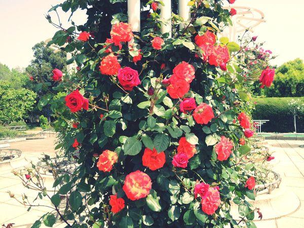 2016.5/2 長居植物園 薔薇 Roses
