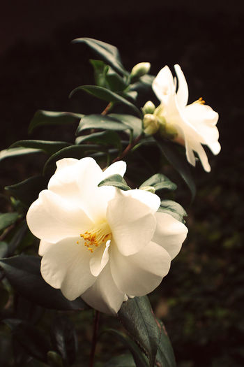 Backyard Beauty In Nature Blossom Camellia Flower Focus On Foreground Fragility High Contrast Limited Palette Nature Plant White Camellia