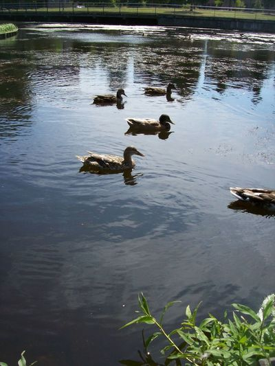 Animal Animal Family Animal Themes Animal Wildlife Animals In The Wild Bird Day Duck Floating On Water Group Of Animals Lake Medium Group Of Animals Nature No People Outdoors Poultry Reflection Swimming Water Young Animal Young Bird