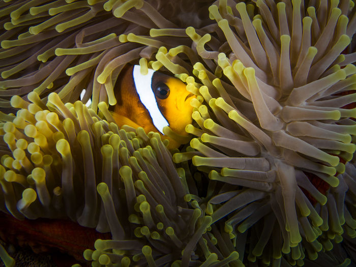Close-up of clown fish by coral in sea