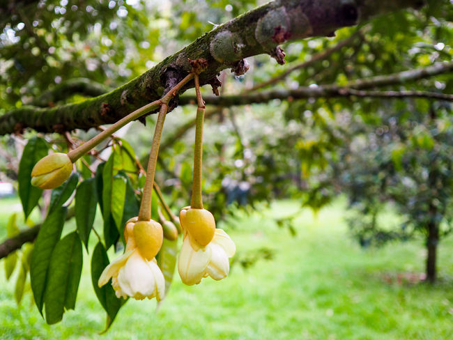 Durian flowers Tree Hanging Branch Fruit Day No People Outdoors Nature Growth Close-up Focus On Foreground Green Color Plant Beauty In Nature Food Freshness Durian Fruit Tree Durian Durian Tree King Of Fruit Freshness Field Beauty Flower