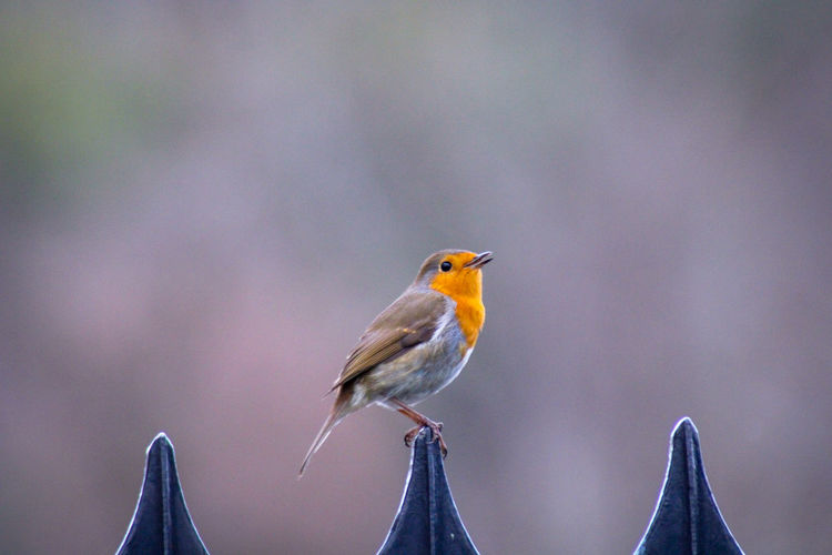 Close-up of robin perching on railings