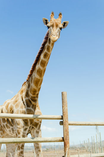 View of giraffe against clear sky