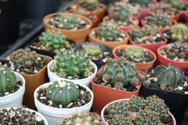 Abundance Arrangement Cactus Choice Day For Sale Green Color High Angle View In A Row Large Group Of Objects Market Market Stall No People Order Outdoors Plant Plant Nursery Potted Plant Retail  Retail Display Sale Selective Focus Small Business Succulent Plant Variation