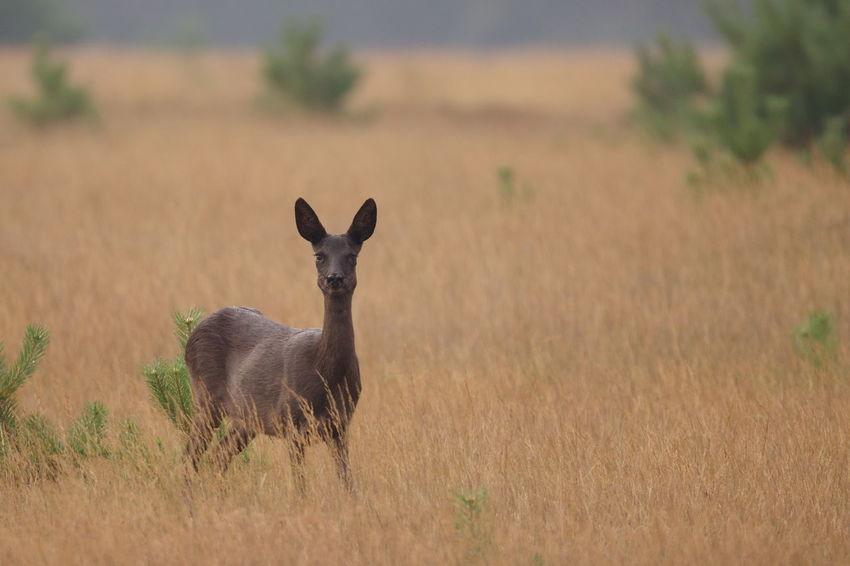 Animal Themes Black Roe Deer Mammal Ree Reegeit Roe Deer Veluwe Wildlife & Nature Zwarte Ree