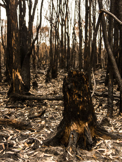 Beauty In Nature Burnt Bushfire Day Destruction Forest Forest Fire Natural Disaster Nature No People Non-urban Scene Outdoors Scenics Stump Tranquil Scene Tranquility Tree Tree Trunk