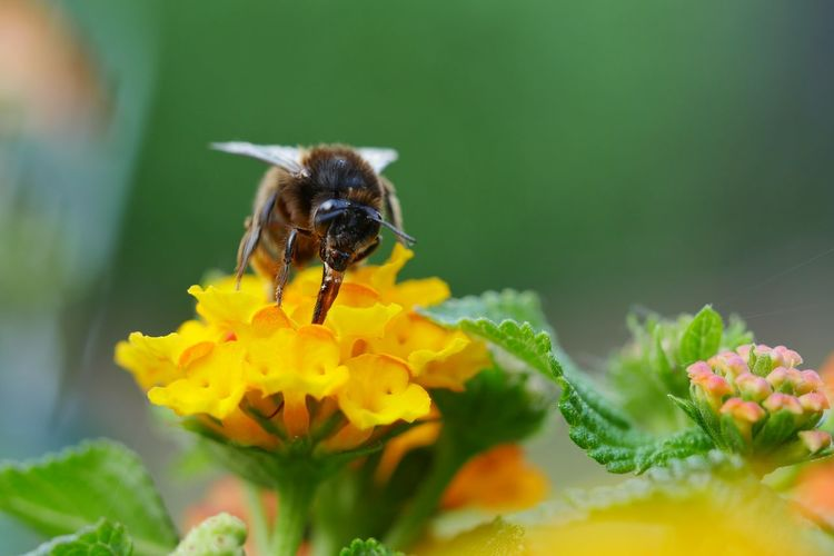 Close-Up Of Honey Bee Pollinating On Yellow Lantana Camara Flower