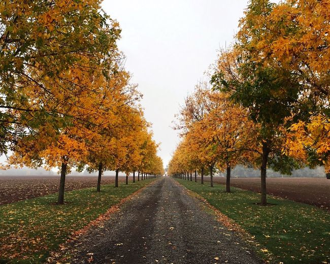 IPS2015Fall IPhoneography Autumn Fall Fog Road One Point Perspective Trees Yellow Yellow Leaves Oregon Foggy Morning