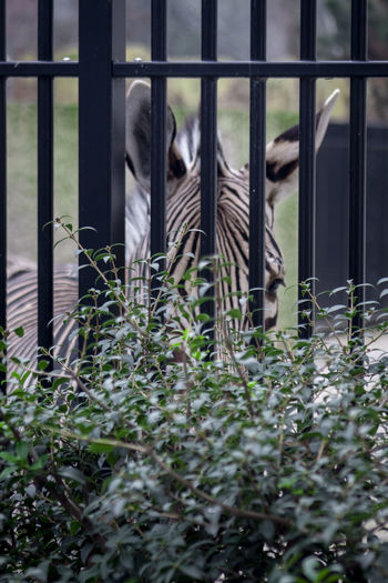 Animal Wildlife Mammal No People Vertebrate Day Nature Animal Themes Animal One Animal Plant Selective Focus Outdoors Land Animals In Captivity Herbivorous Metal Fence Barrier Zoo Zoology Zoo Animals  Zoophotography Zebra Zebra Stripes Focused My Best Photo