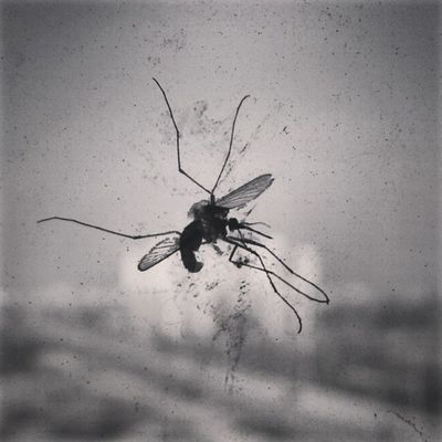 Instaclick Gagans_photography Flying Mosquito InstaAsia Instaindia India Instainsect