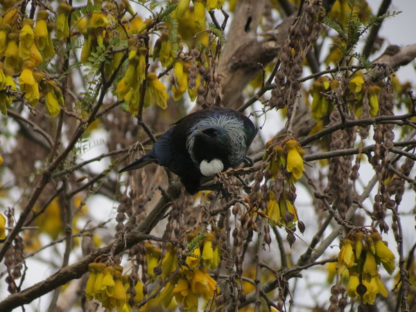 New Perspective Strength Muscular Branch Nature Animal Wildlife No People One Animal Outdoors Bird Day Beauty In Nature Animal Themes Close-up LandoftheLongWhiteCloud Nz Native Bird Tui New Zealand Springtime Aotearoa Nz Native Tree Kowhai Sky Perching Leaf
