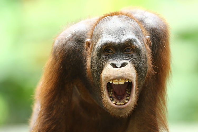 Close-up portrait of orangutan with open mouth