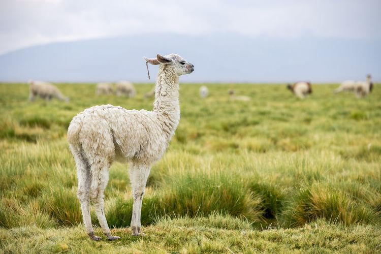 Llama standing on grassy field
