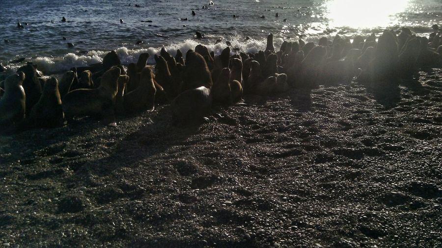 Caleta Olivia, Santa Cruz Sunlight Large Group Of Animals Nature No People Beach Outdoors Sky Day