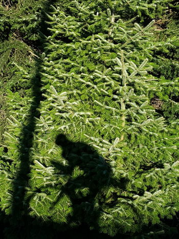 Green Color Shadow Bicycle Silhouette Fir Fir Tree Fir Trees Christmas Tree Cyclists In Landscape Cyclist Cyclist Silhouette Bikerider Bicyclist Christmas For Bikerider Capture The Moment