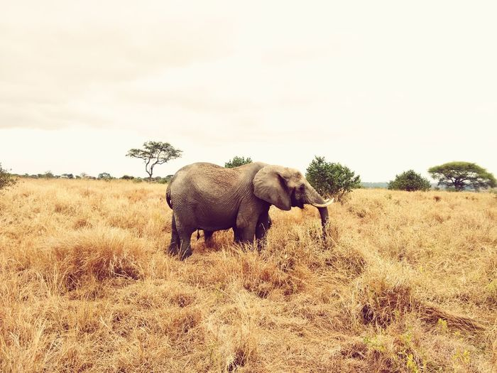 Gentle Giant Elephant Animal Wildlife Animals In The Wild Mammal African Elephant Nature Safari Animals Outdoors Day Cloud - Sky One Animal No People Animal Themes Tree Sky