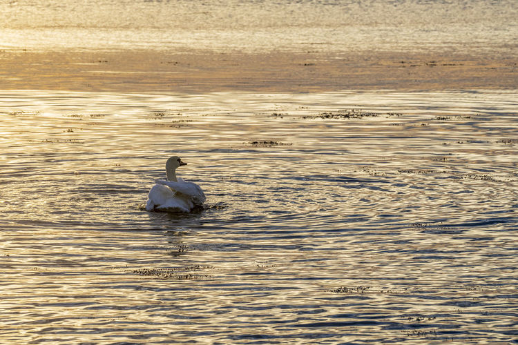 Beautiful Swans in the sea at sunrise. Animal Animal Wildlife Animals In The Wild Swan Swans Swans In The Sea Sunrise Swan Sunrise Swan Lake Animal Themes