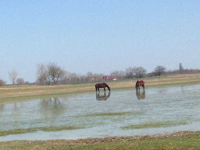 Animal Themes Beauty In Nature Blue Clear Sky Copy Space Day Field Grass Grassy Horses Horses In Water Lake Landscape Nature No People Outdoors River Scenics Things I Like Tranquil Scene Tranquility Tree Water