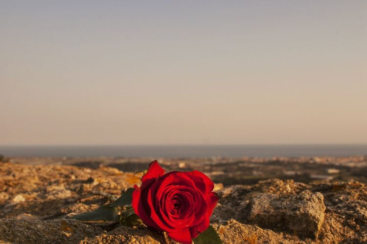 Close-up of rose roses on land against sky