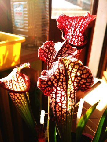 Carniflora Carnivorousplant Sarracenia Sarracenialeucophylla Spottedplant Eyeemplant Plant Plants 🌱 Plant Lover Plants And Flowers Flowers,Plants & Garden Nature