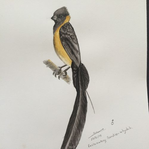 Exclamatory Paradise-whydah Whatilovedoing Nature_collection Birdwatching Drawing Birds My Sketch Sketch Paintings Sketching Sketchbook