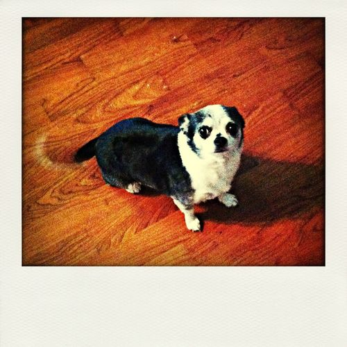 My chihuahua phoebe. Look at her tail go! Cute Pets