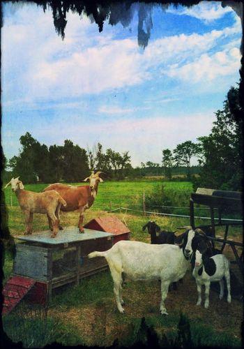 The goats take over... Animal Antics  Goats Farm Life
