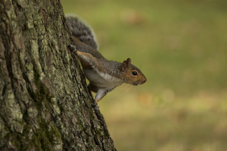 Alertness Animal Animal Body Part Animal Head  Animal Themes Beauty In Nature Bush Close-up Day Focus On Foreground Landscape Mammal Nature No People Outdoors Selective Focus Squire Squirrel Squirrel Tree Trunk Wildlife