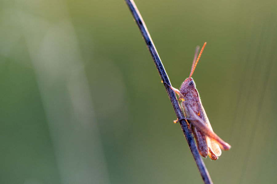 One Animal Animal Wildlife Focus On Foreground Close-up Animal Animal Themes Day Nature Invertebrate Insect Plant Green Color Outdoors Animal Antenna Animal Body Part Selective Focus Sunlight Beauty In Nature Locust Grasshopper Insects  Stalk Perching Macro Golden Hour