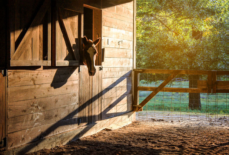 Horse In Stable Against Trees At Morning