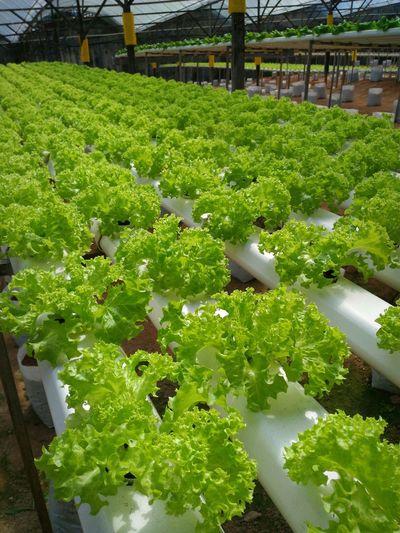 Vege...Fresh Vegetables Green Natural Vege Vegetable Garden Cameronhighlands Freshness Healty Healthy Food Enjoylife