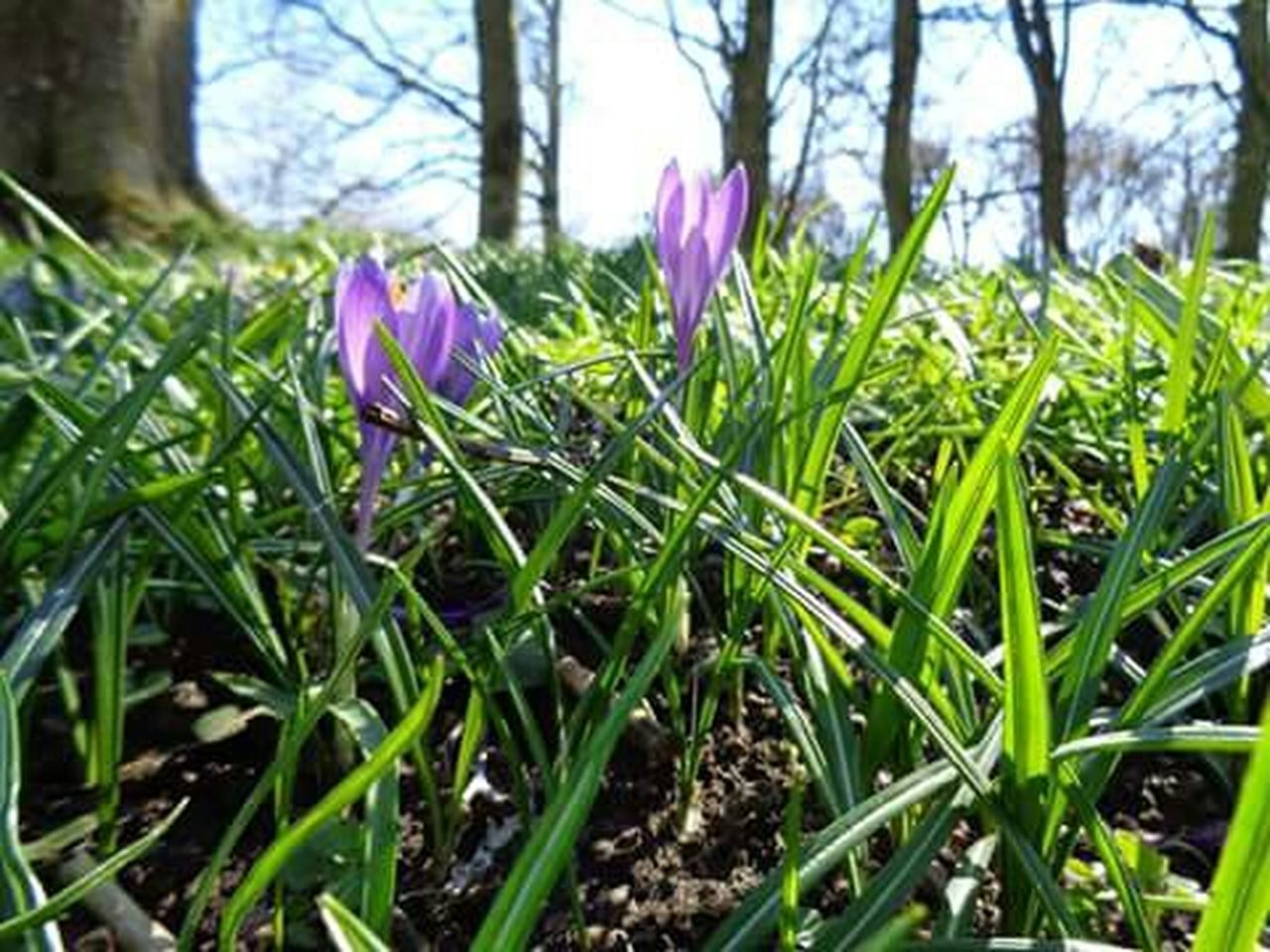 growth, flower, nature, purple, day, green color, grass, beauty in nature, outdoors, plant, crocus, freshness, no people, fragility, close-up, flower head, tree