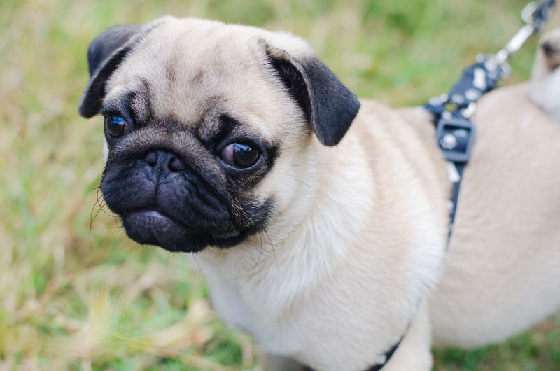 One Animal Animal Animal Themes Lap Dog Pug Mammal Canine Dog Vertebrate Pets Domestic Animals Domestic Focus On Foreground Portrait Looking At Camera Day Small Close-up No People Nature Animal Head  Snout Pug