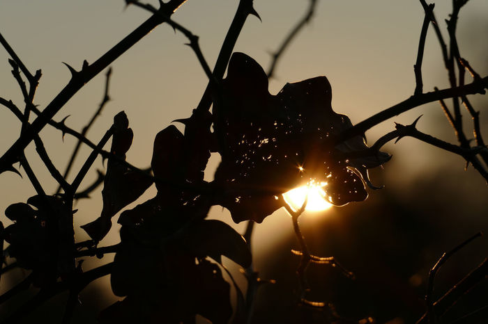 Shining through EyeEm Nature Lover Naturschutzgebiet Twigs Winter Burning Close-up Day Dog Rose Eye4photography  Fragility Low Angle View My Point Of View Nature No People Oak Leaves Outdoors Shining Through Silhouette Sky Sun Sunset Thorns