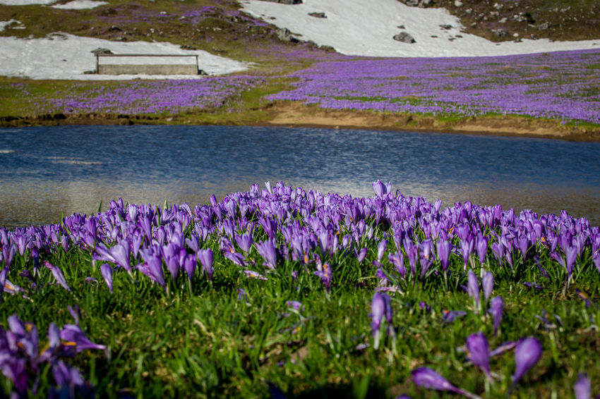 Beauty In Nature Crocus Day Environment Field Flower Flowerbed Flowering Plant Freshness Growth Lake Land Nature No People Outdoors Plant Purple Scenics - Nature Tranquil Scene Tranquility Water